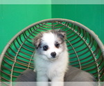 Puppy 1 Maltipom