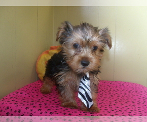 Yorkie-Poo-Yorkiepoo Mix Puppy for sale in PATERSON, NJ, USA