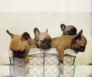 French Bulldog Puppy for sale in BALDWIN PARK, CA, USA