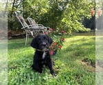 Small #9 Labrador Retriever-Sheepadoodle Mix
