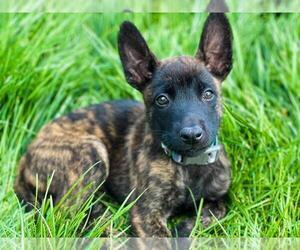 Belgian Malinois-Dutch Shepherd Dog Mix Puppy for Sale in CALHAN, Colorado USA