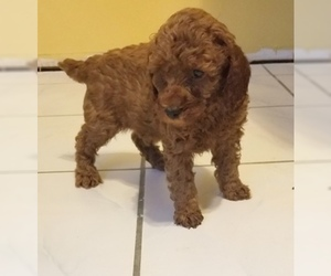 Poodle (Miniature) Puppy for sale in SPRING HILL, FL, USA