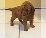 Red Miniature AKC Puppy