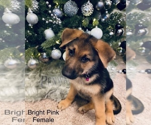 German Shepherd Dog Puppy for Sale in MIDLAND, Georgia USA