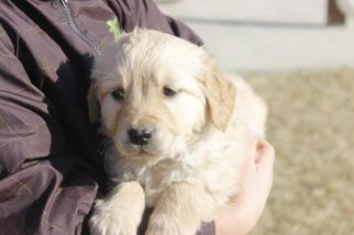 Golden Retriever Puppy For Sale in HILLSBORO, KS, USA