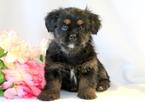 Shorkie Tzu Puppy For Sale in MOUNT JOY, PA, USA