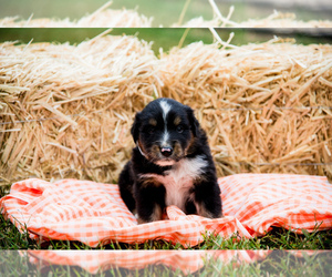 Australian Shepherd Puppy for Sale in MARYVILLE, Tennessee USA