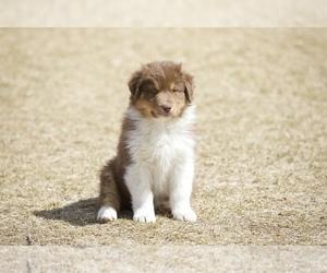 Australian Shepherd Puppy for Sale in THREE FORKS, Montana USA