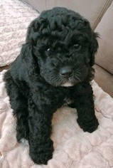 Australian Labradoodle Puppy For Sale in GOLETA, CA, USA