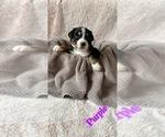 Puppy 4 Bordernese