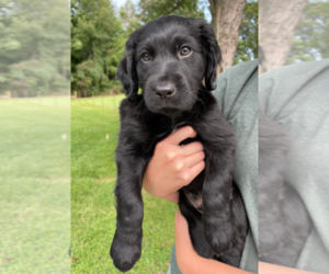 Boykin Spaniel Puppy for Sale in OTISCO, Indiana USA