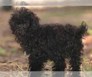 Poodle (Standard) Puppy for sale in OTTAWA HILLS, OH, USA