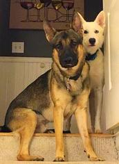 Father of the German Shepherd Dog-Siberian Husky Mix puppies born on 12/26/2017