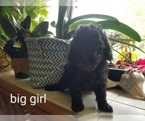 Poodle (Toy) Puppy for Sale in NEW CHURCH, Virginia USA