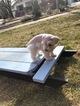 Schnauzer (Miniature) Puppy For Sale in LOGAN, UT, USA
