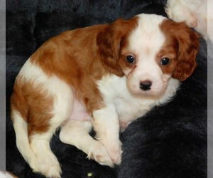 Cavalier King Charles Spaniel Puppy for Sale in MONTGOMERY, Texas USA