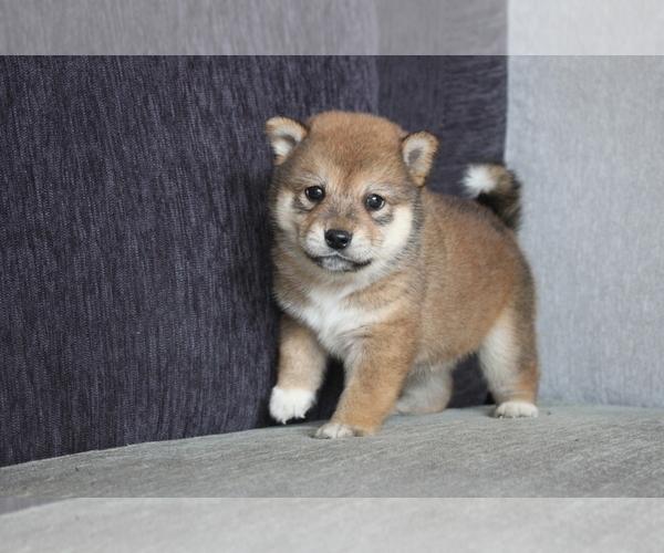 Medium Photo #2 Shiba Inu Puppy For Sale in MIAMI, FL, USA
