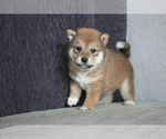 Small Photo #2 Shiba Inu Puppy For Sale in MIAMI, FL, USA