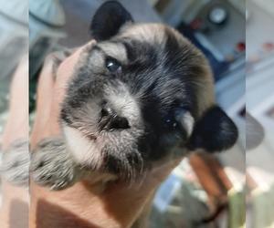 Havanese Puppy for Sale in VERNONIA, Oregon USA