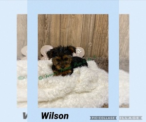 Yorkshire Terrier Puppy for Sale in MYRTLE, Missouri USA