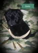 Pom-A-Poo Puppy For Sale in CLEVELAND, ND, USA