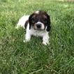 Dachshund Puppy For Sale in PERU, IL,