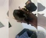 Small #2 Boerboel