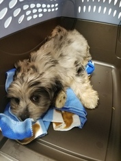 Shiranian Puppy For Sale in LOUISVILLE, KY