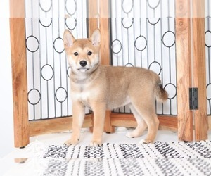 Shiba Inu Puppy for Sale in NAPLES, Florida USA