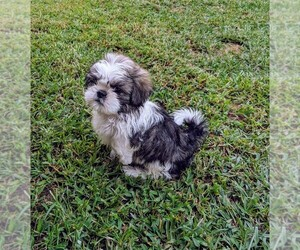 View Ad: Shih Tzu Puppy for Sale near Georgia, GRIFFIN, USA