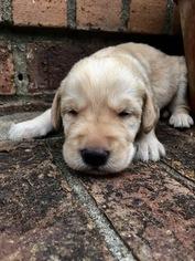 Labradoodle Puppy For Sale in MURFREESBORO, TN, USA