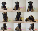 Belgian Malinois Puppy For Sale in CIRCLEVILLE, OH, USA