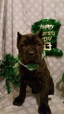 Cane Corso Puppy For Sale in BROCKTON, MA, USA