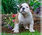 English Bulldog Puppy For Sale in NAPPANEE, IN, USA