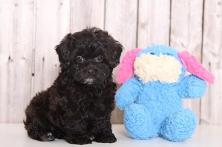 Shih-Poo Puppy For Sale in MOUNT VERNON, OH