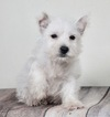 Adorable westie puppy REady to go