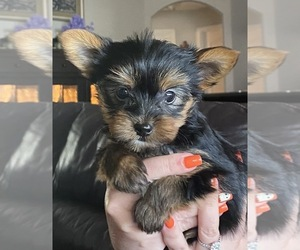 Yorkshire Terrier Puppy for Sale in LAKELAND, Florida USA