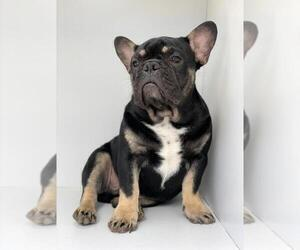 French Bulldog Puppy for sale in GLUCKSTADT, MS, USA