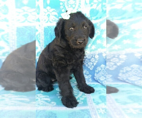 Medium Photo #3 Labradoodle Puppy For Sale in EDEN, PA, USA