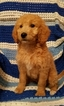 Goldendoodle-Poodle (Miniature) Mix Puppy For Sale in ATTLEBORO, MA, USA