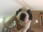Saint Bernard Puppy For Sale in SOUTH FALLSBURG, NY, USA