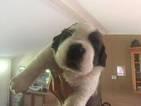 Saint Bernard Puppy For Sale in SOUTH FALLSBURG, NY, USA
