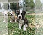 Small #26 American Bulldog
