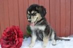 Goberian Puppy For Sale in HONEY BROOK, PA, USA