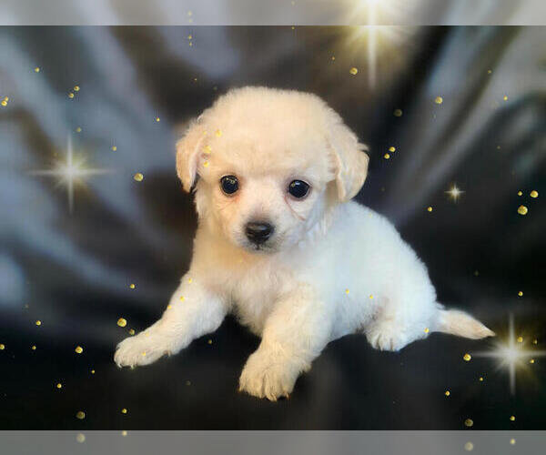 Medium Photo #2 Pom-A-Poo-Pooranian Mix Puppy For Sale in SAN FRANCISCO, CA, USA