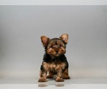 Puppy 1 Yorkshire Terrier