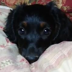 Dachshund Puppy For Sale in ADDISON, AL, USA