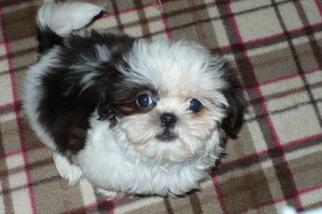View Ad Shih Tzu Puppy For Sale Arizona Tucson Usa