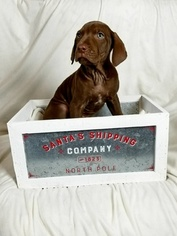 Catahoula Leopard Dog Puppy For Sale in PATASKALA, OH, USA