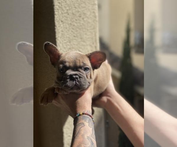 Medium Photo #4 French Bulldog Puppy For Sale in SAN DIEGO, CA, USA